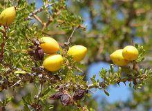 阿甘果榨取的阿甘油有高含量的不饱和脂肪酸